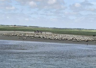 Les moutons des près salés St Valéry sur Somme
